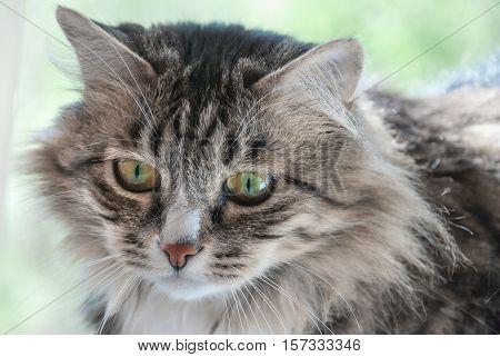 Portrait of the severe cat looks bleak close-up poster