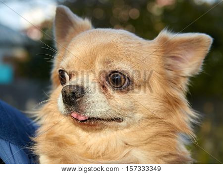 light Coloured Longhair Chihuahua dog close up outdoor