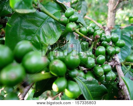 green coffee plant. They look green before they are picked and dried