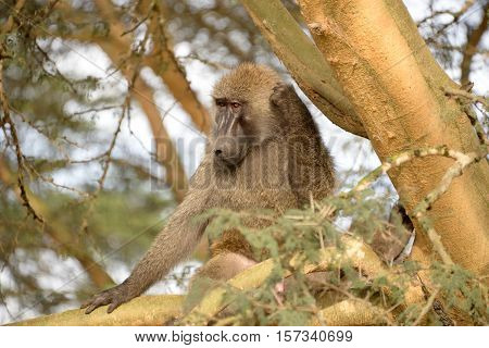 Baboon monkey in African bush. Lake Manyara National Park in Tanzania