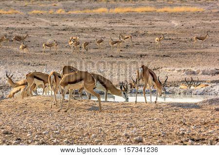 herd of springboks in water pool in Namibian savannah of Etosha National Park, Namibia, Africa.