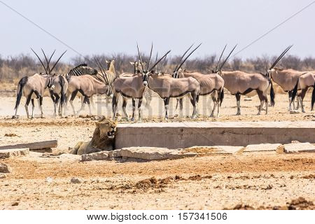 wildlife animals: zebras oryxs looking at a lion at water pool in Namibian savannah of Etosha National Park, Namibia, Africa