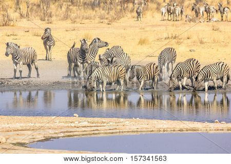 herd of african zebras drink in the water pool in Namibian savannah of Etosha National Park, Namibia.