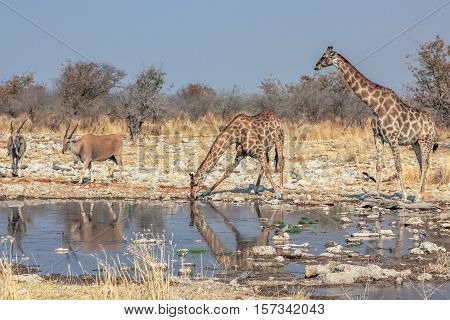wildlife: elands and giraffes resting at pool in Namibian savannah of Etosha National Park, dry season in Namibia, Africa