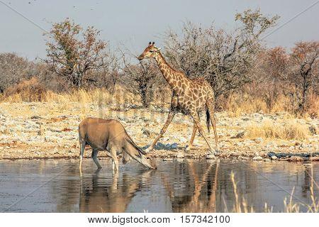 zebra and eland meeting at pool in Namibian savannah of Etosha National Park, dry season in Namibia, Africa