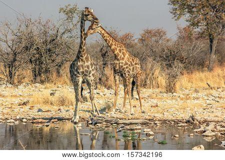 two giraffes reflecting in the pool in Namibian savannah of Etosha National Park, dry season in Namibia, Africa