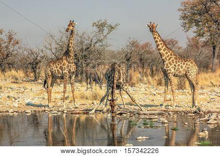three giraffes drinking at pool in Namibian savannah of Etosha National Park, dry season in Namibia, Africa