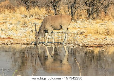 one elands reflecting in pool in Namibian savannah of Etosha National Park, dry season in Namibia, Africa