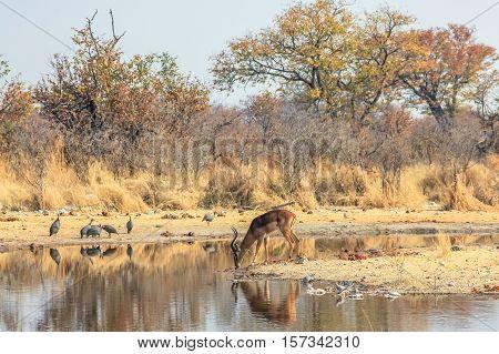 one impala reflecting in pool in Namibian savannah of Etosha National Park, dry season in Namibia, Africa