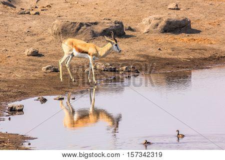 one springbok gazelles reflecting in pool in Namibian savannah of Etosha National Park, dry season in Namibia, Africa