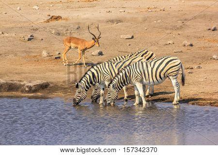 wildlife: zebras and impalas at pool in Namibian savannah of Etosha National Park, dry season in Namibia, Africa
