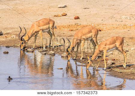 three impalas drinking at pool in Namibian savannah of Etosha National Park, dry season in Namibia, Africa