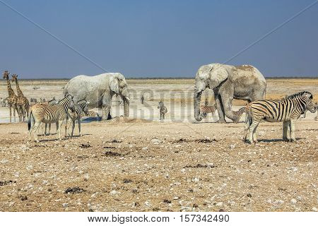 wildlife: zebras elephants giraffes drinking at pool in Namibian savannah of Etosha National Park, dry season in Namibia, Africa