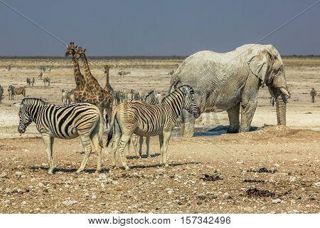 zebras elephants giraffes drinking at pool in Namibian savannah of Etosha National Park, dry season in Namibia, Africa