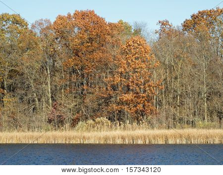 The burnt orange leaves of tall oak trees add one last bit of autumn color at the edge of Crosswinds Marsh in mid November. Southeastern Michigan.