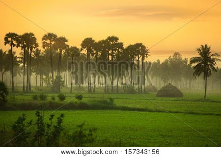 Paddy fields  landscape in Andhra pradesh ,India