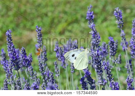 Lavender Flower Polination by Butterfly