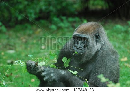 Gorilla munching on green leaves while sitting in a grass field