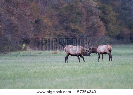 Two Young Elk Practice Sparring