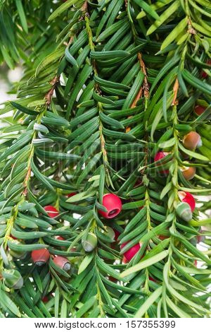 Yew tree with red fruits. Taxus baccata. Branch with mature berries. Red berries growing on evergreen yew tree branches. European yew tree with mature cones. Green coniferous tree with red berries.