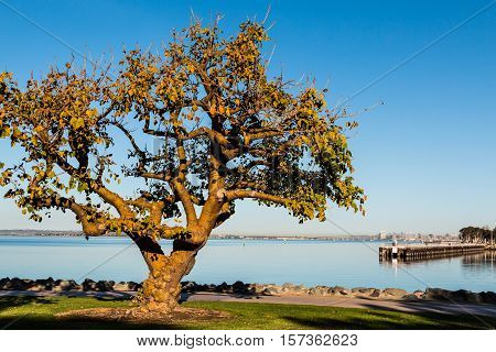 Coral tree in the golden light of an autumn morning at Chula Vista Bayfront park with fishing pier and San Diego Bay in the background.
