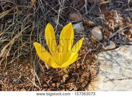 The Big Sternbergia Lutea Blooming At Israeli Desert