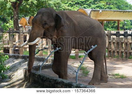 HO CHI MINH SITY, VIETNAM - DECEMBER 19, 2015: Asian elephant in a cage closeup. The zoo of Ho Chi Minh city. The tourist landmark