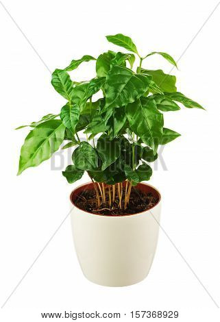 Coffee tree Arabica Plant in flower pot isolated on white background. Closeup.