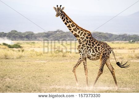Wild animals of Africa in their environment: Giraffes