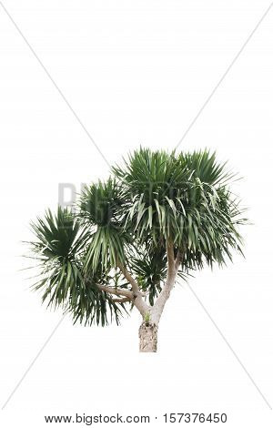 isolated Cycads tree on a white background