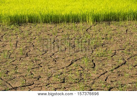 Dry ground and drought conditions in rice cornfield
