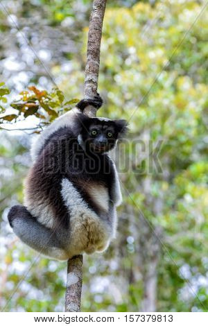Black And White Lemur Indri On Tree