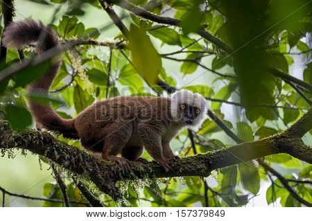 White-headed Lemur (eulemur Albifrons) On Tree
