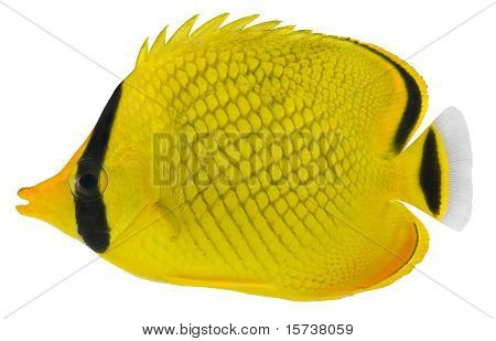 Latticed Butterfly Fish. Chaetodon Rafflesi