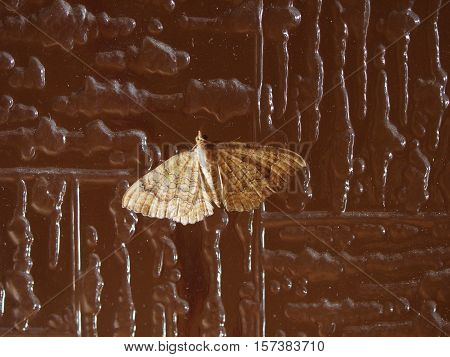 Moth butterfly in the order of Lepidoptera insect animal
