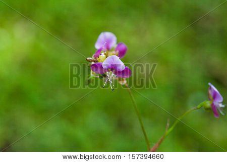 Beautiful Poaceae Grass Flower.