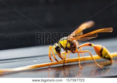 The Hornets,