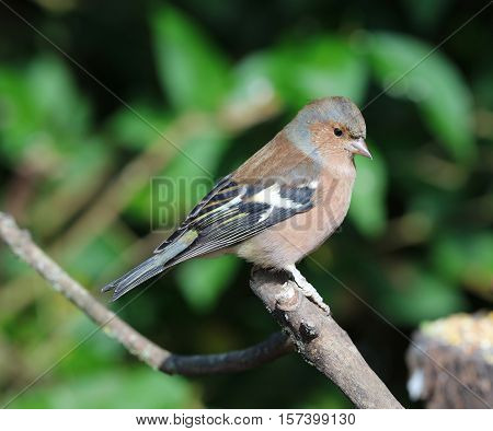 Close up of a male chaffinch perched on a branch