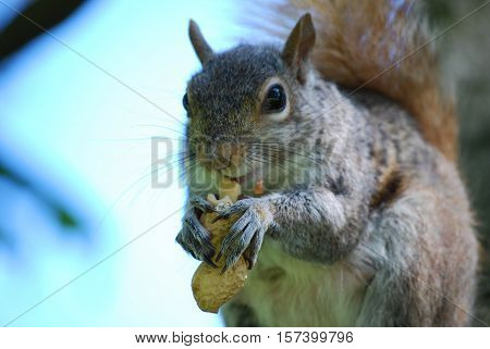 Cute squirrel devouring the contents of a nut.