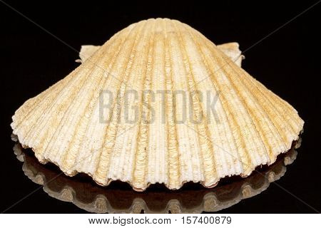 Sea shell of mollusk isolated on black background reflection