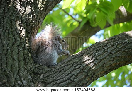 Grey squirrel sitting in the crook of a tree eating a peanut.