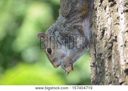 Grey squirrel hanging down a tree with a peanut.