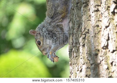 Squirrel climbing down the trunk of a tree eating a peanut.