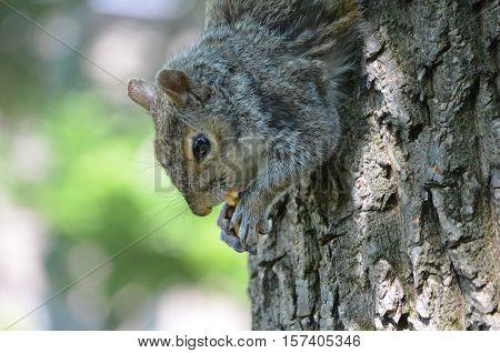Squirrel eating a peanut while climbing down a tree.