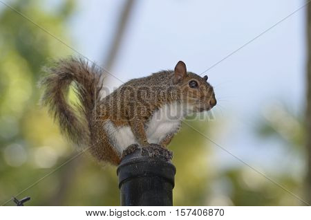 Grey squirrel sitting on the post of a chain linked fence.