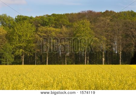Golden Coleseed Field