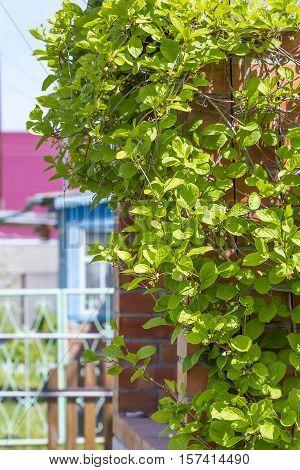 Deciduous vine Chinese Magnolia vine ( lat.Schisandra chinensis ). The veranda garden entangled vine