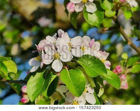 This is an apple tree blooming.