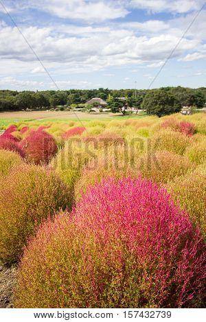 Kochia bushes at Hitachi Seaside Park, Ibaraki, Japan