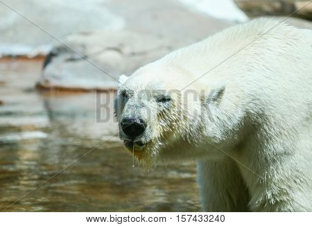 SAN DIEGO, USA - MAY 29, 2015: Close-up of a polar bear with water dripping from its snout in the San Diego Zoo.